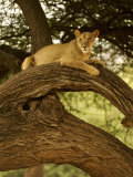 African Lion, Panthera Leo, Resting and Hiding in a Tree, Samburu Game Reserve, Kenya, Africa Photographic Print by Joe McDonald