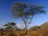 Numerous Weaver Nests in an Acacia Tree in the Savanna of Samburu Game Reserve, Kenya, Africa Photographic Print by Joe & Mary Ann McDonald