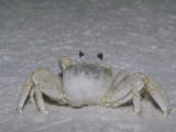 Ghost Crab on a Sandy Beach, Ocypode Quadrata, Florida, USA Photographic Print by Joe McDonald