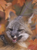 Gray Fox Face (Urocyon Cinereoargenteus), North America Photographic Print by Tom Walker