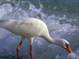 White Ibis Feeding in the Surf (Eudocimus Albus), Everglades National Park, Florida, USA Photographie par Tom Walker