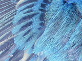 Close-Up of Male Indigo Bunting Feathers, Passerina Cyanea, North America Photographic Print by David Cavagnaro