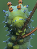 Cecropia Moth Larva or Caterpillar Head-On View, Hyalophora Cecropia, ., Hyalophora Cecropia Photographic Print by John & Barbara Gerlach