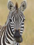 Zebra Chewing, Maasai Mara, Kenya, Africa Photographic Print by Arthur Morris