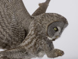 A Great Gray Owl Pouncing on its Prey, Strix Nebulosa, North America Photographic Print by Joe McDonald