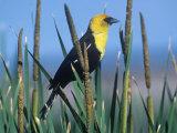 Male Yellow-Headed Blackbird (Xanthocephalus Xanthocephalus) in Cattails (Typha), North America Photographie par Steve Maslowski