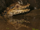 Dwarf Caiman, Paleosuchus Palpebrosus, Amazon Basin, South America Photographic Print by Jack Michanowski