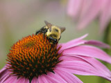 Mining Bee, Andrena Spp., and Coneflower, Echinacea Purpurea Photographie par Adam Jones