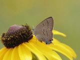 Butterfly, Edwards Haristreak (Satyrium Edwardsii) Feeding on a Flower Photographic Print by Robert Servrancky