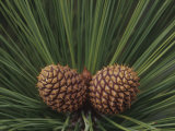 Young Female Pine Cones and Needles, Pinus, California, USA Photographic Print by Adam Jones