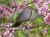 Gray Catbird (Dumatella Carolinensis), North America Photographic Print by Steve Maslowski