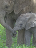 African Elephant Mother Holding its Baby's Trunk, Loxodonta Africana, East Africa Fotografisk tryk af Arthur Morris