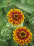 Zinnia Flowers (Zinnia Elegans), Zowie Yellow Flame Variety Photographic Print by Wally Eberhart