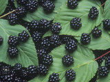 Blackberry Fruits and Leaves (Rubus), North America Photographic Print by Wally Eberhart