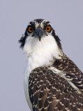 Osprey (Pandion Haliaetus), North America Photographie par Arthur Morris