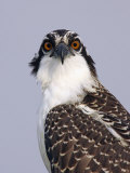 Osprey (Pandion Haliaetus), North America Photographic Print by Arthur Morris