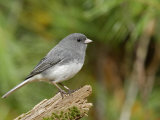 Dark-Eyed or Slate-Colored Junco, Junco Hyemalis, North America Photographic Print by Garth McElroy