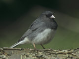 Dark-Eyed Junco, Junco Hyemalis, USA Photographic Print by Gary Meszaros