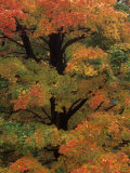 Maple Sugar Tree Changing to Fall Foliage (Acer Saccharum), North America Photographic Print by Robert Domm