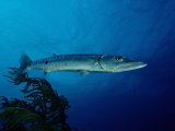 Great Barracuda Photographic Print by Reinhard Dirscherl