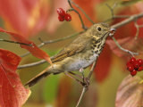 Hermit Thrush (Catharus Guttatus) in a Fall Dogwood Tree, the State Bird of Vermont, USA Photographie par Steve Maslowski