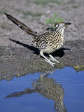 Greater Roadrunner at a Desert Waterhole, Geococcyx Californianus, Western USA Photographic Print by Charles Melton