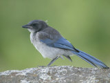 Immature Western or Pacific Scrub Jay, Aphelocoma Californica, Southern California, USA Photographic Print by Arthur Morris