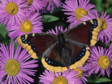 Mourning Cloak Butterfly, Nymphalis Antiopa, on Daisy Flowers, Family Nymphalidae, North America Photographic Print by Charles Melton