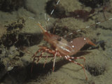 Spot Prawn, Pandalus Platyceros, Hood Canal, Washington, Usa, Pacific Ocean Photographic Print by Daniel Gotshall