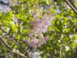 Purple Lilac in Bloom (Syringa Vulgaris), the State Flower of New Hampshire Photographic Print