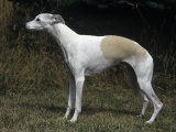 Whippet Breed of Domestic Dog Photographic Print by Cheryl Ertelt
