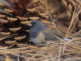 Male Dark-Eyed Junco (Junco Hyemalis), North America Photographie par Steve Maslowski