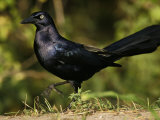 Great-Tailed Grackle, Quiscalus Mexicanus, Southwest USA Photographie par John Cornell