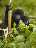 Young Mountain Gorilla, Gorilla Gorilla Beringei, in Volcanoes National Park, Rwanda, Africa Photographie par Joe McDonald
