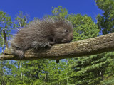 Baby Porcupine on a Tree Branch, Erethizon Dorsatum, North America Photographic Print by Jack Michanowski