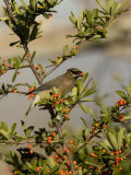 Cedar Waxwing (Bombycilla Cedrorum) Eating a Pyracantha Berry, Arizona, USA Photographic Print by Charles Melton