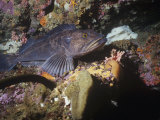 Male Lingcod Guarding Eggs, Ophiodon, Pacific Coast of North America Photographic Print by Daniel Gotshall