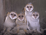 Barn Owl Chicks in their Nest in a Barn, Tyto Alba, an Endangered Species, USA Photographic Print by Joe McDonald