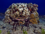 The Banded Spiny Lobster (Panulirus Marginatus) Is Endemic to Hawaii, USA Photographic Print by David Fleetham