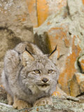 A Canadian Lynx, Lynx Canadensis, North America Photographic Print by Joe McDonald