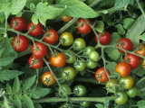 Cherry Tomatoes, &#39;super Sweet 100&#39; Variety, Green, Ripe, and Ripening Photographic Print by Wally Eberhart