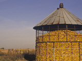 Filled Corn Crib, Zea Mays Photographic Print by Gay Bumgarner