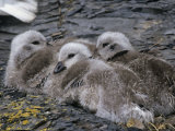 Kelp Goose Chicks Chloephaga Hybrida, Falkland Islands Photographic Print by Joe McDonald