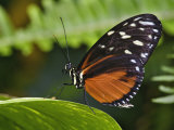 Golden Helicon Butterfly, Heliconius Hecale Photographic Print by Adam Jones