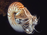 Chambered Nautilus (Nautilus Pompilius), Indonesia Photographic Print by David Fleetham
