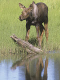 Moose Calf Near a Tundra Pond (Alces Alces), Denali National Park, Alaska, USA Photographic Print by Tom Walker