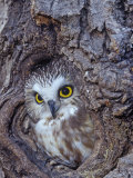 Northern Saw-Whet Owl in a Tree Hollow (Aegolius Acadius), North America Photographie par Tom Ulrich