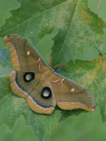 Polyphemus Moth (Antheraea Polyphemus), Saturniidae, Florida Photographic Print by Leroy Simon