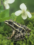 Pickerel Frog (Rana Palustris), North America Photographic Print by Gary Meszaros