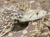 Sonoran Gopher Snake Head, Pituophis Catenifer Affinis Photographic Print by Gerold Merker